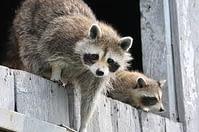 raccoon at home
