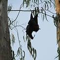 wild bat hanging